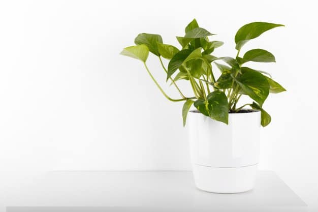 Golden Pothos (Devil's Ivy) in a white pot with a white background