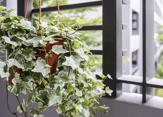English Ivy (Hedera Helix) in a hanging pot
