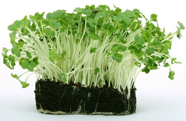 bunch of Cress growing