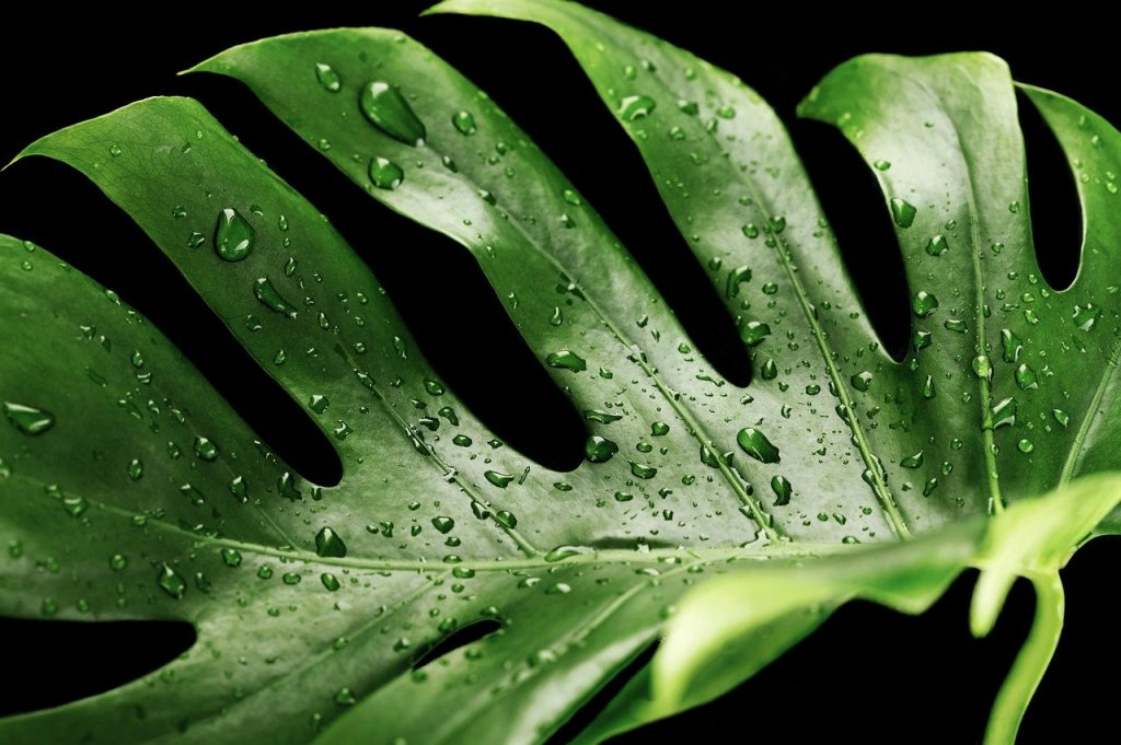 cheese plant (monstera deliciosa) with water on it