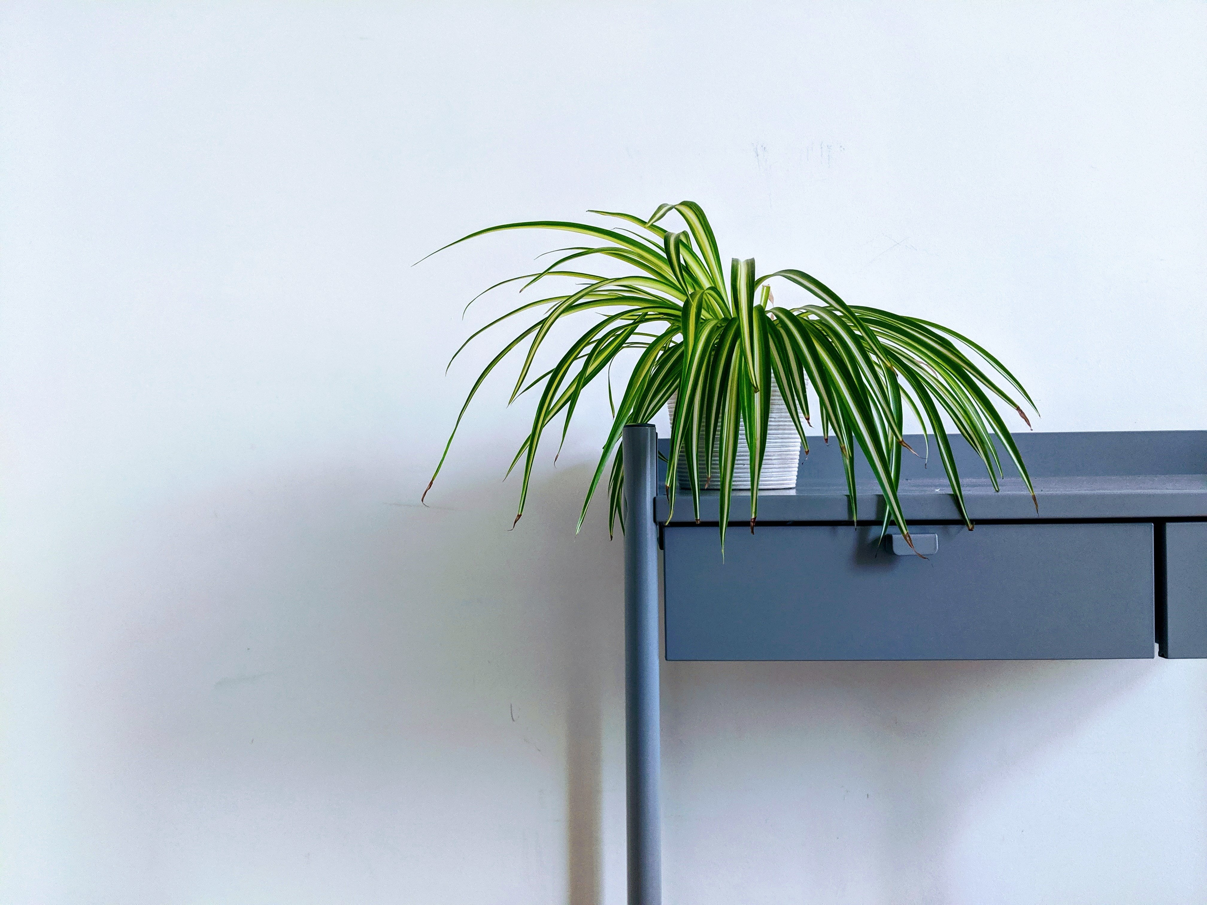 Spider plant (Chlorophytum comosum) on a desk
