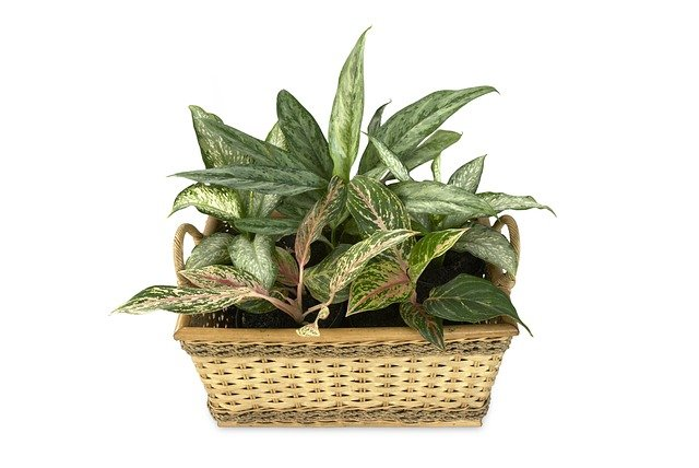 Chinese evergreen (aglaonema) in a basket