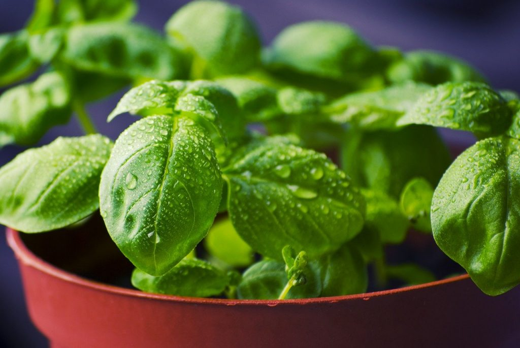 Fresh basil with water on it