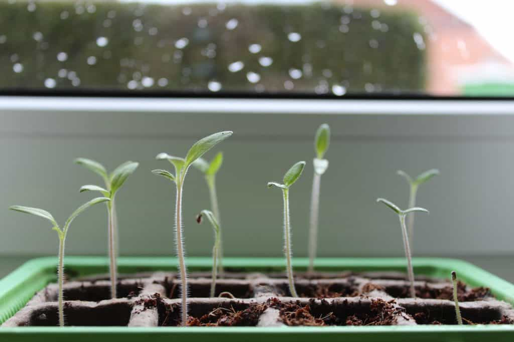 seeds germinating indoors on a heat mat