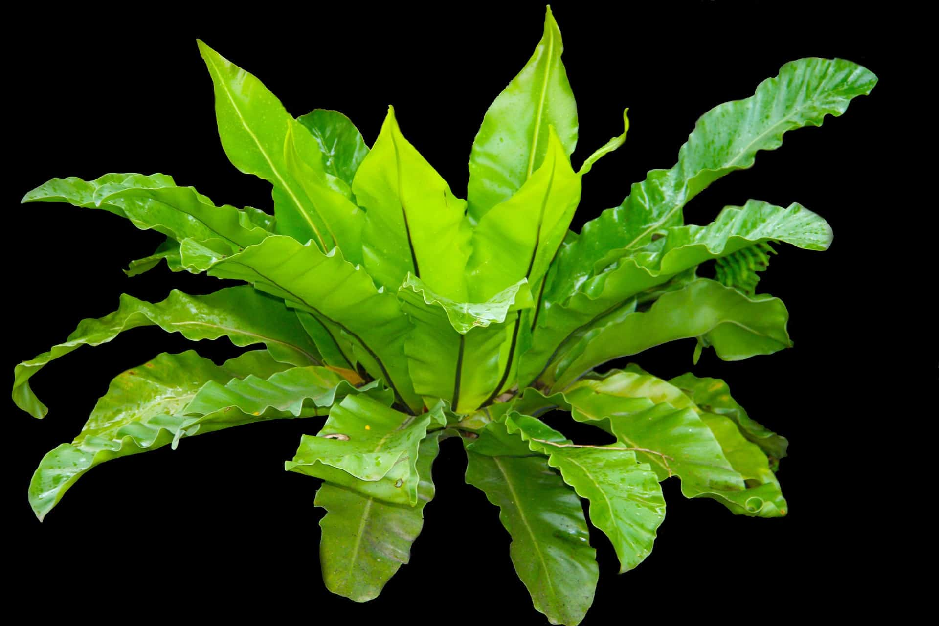 How To Care For A Crispy Wave Fern Japanese Asplenium Nidus Indoor Home Garden