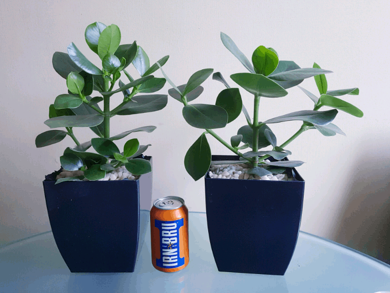 Two autographs trees, next to a drink can for size comparison
