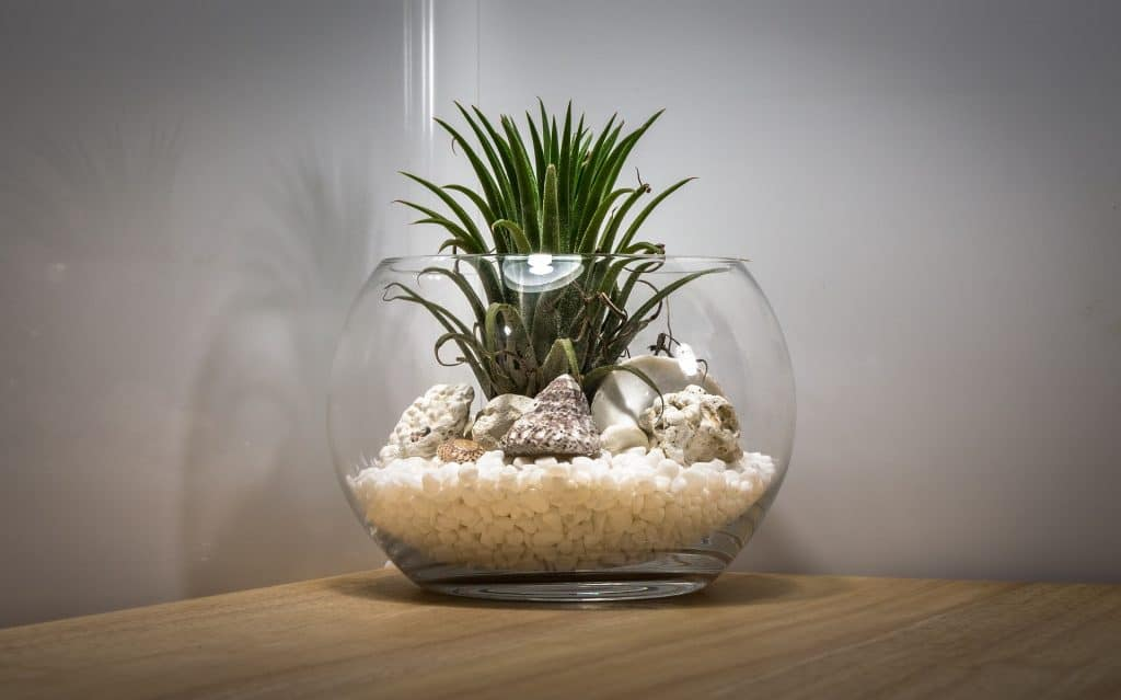 Air plant in glass