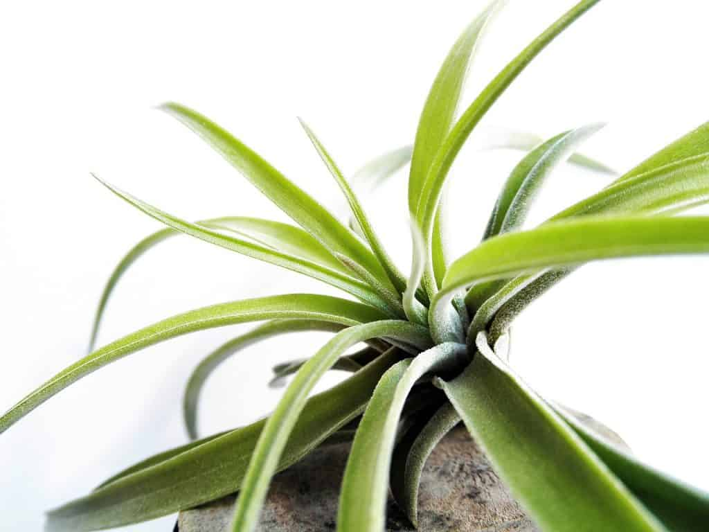 epiphyte plant (air plants)