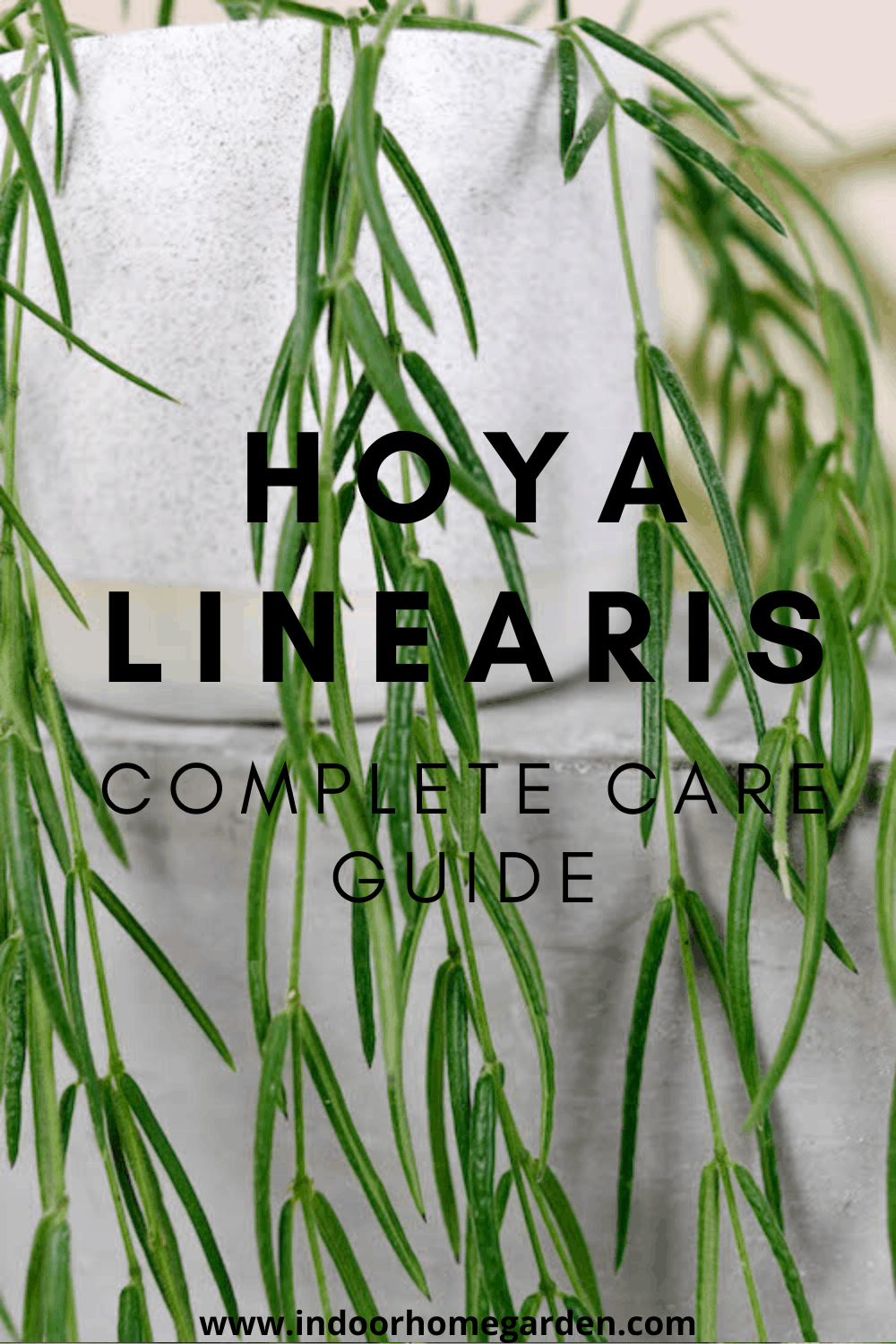Hoya linearis complete care guide