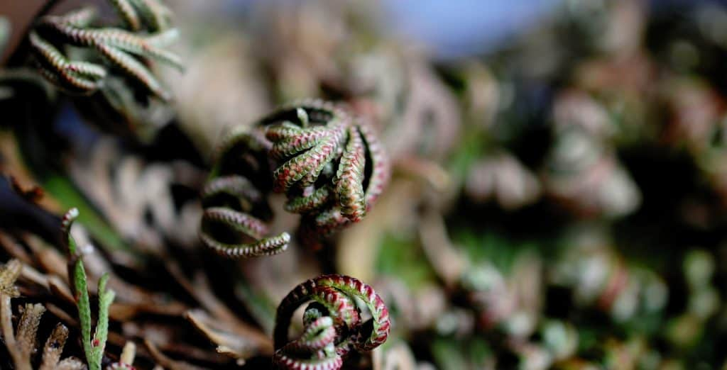 resurrection plant close up image
