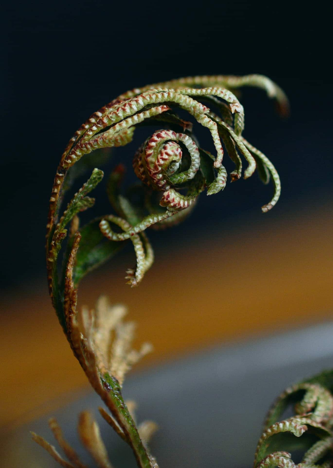 resurrection plant close up, uncurling