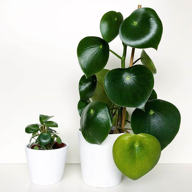 two raindrop peperomia plants