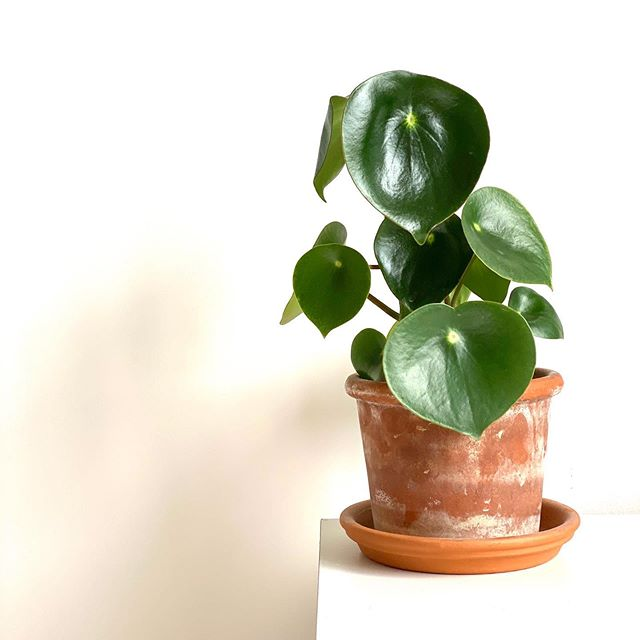 potted raindrop peperomia