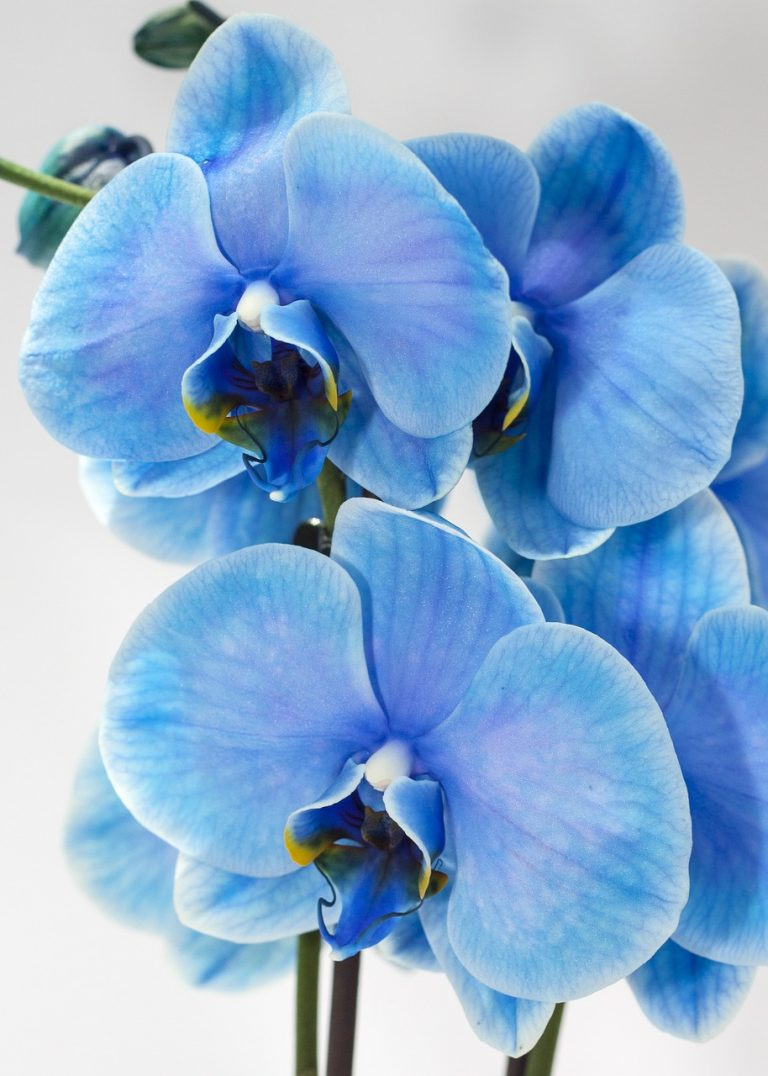 blue moth orchid