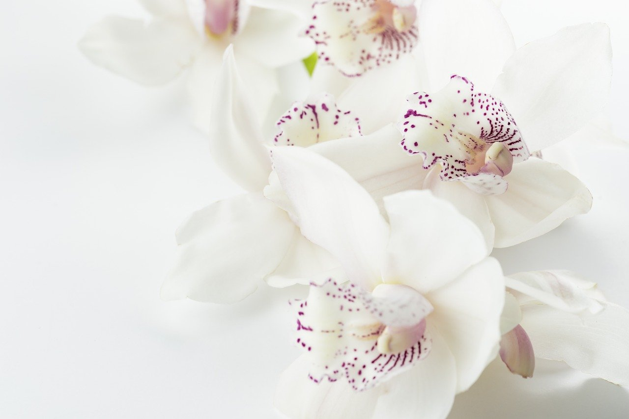orchid blooming indoors with white/purple flowers