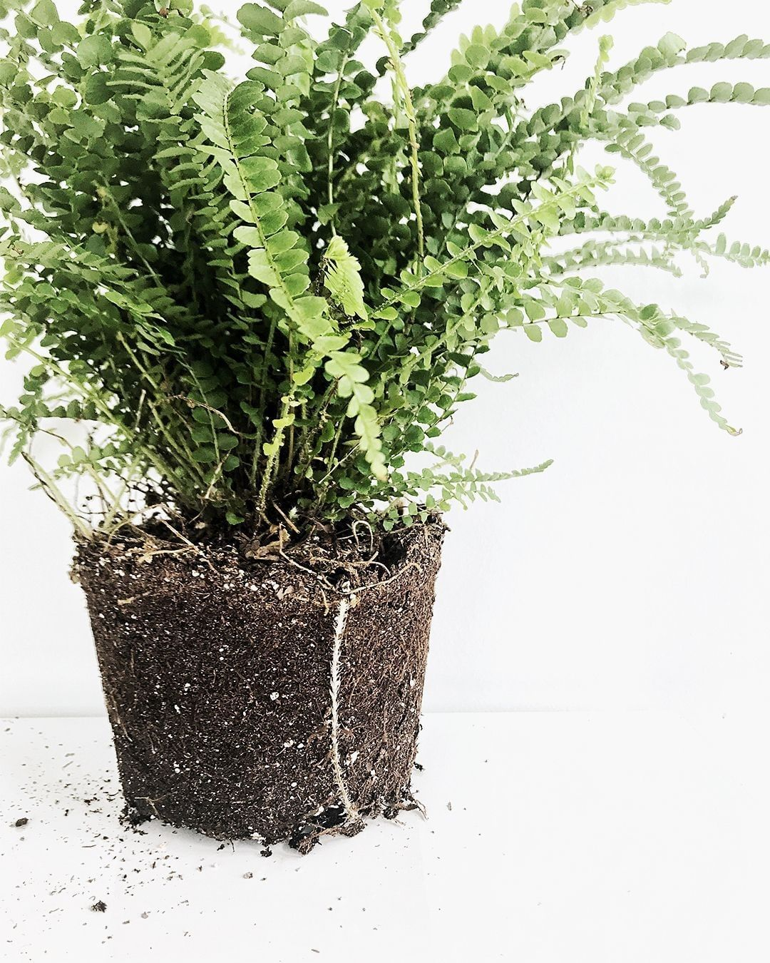 Lemon button fern with exposed soil