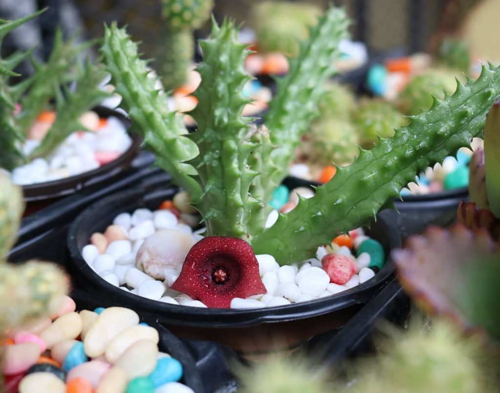 Huernia schneideriana Red Dragon - Succulent Rooted Offset//Stem Cutting