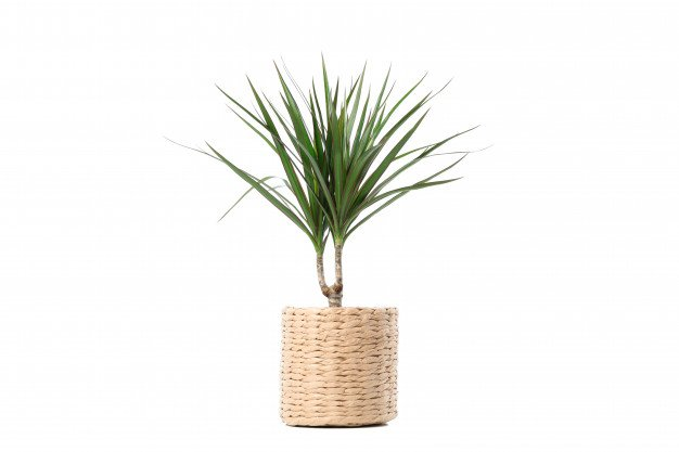 dragon tree in a wicker pot