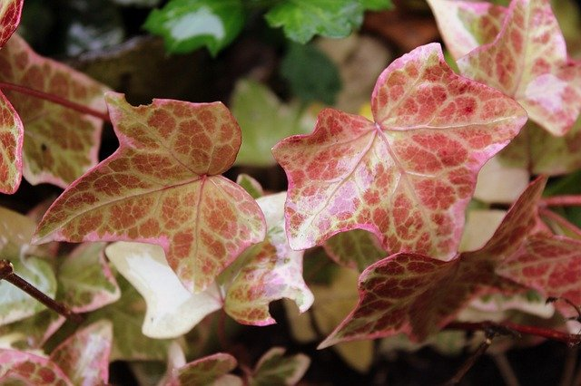 common ivy with dark red leaves