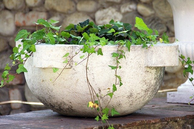 ivy in a stone pot