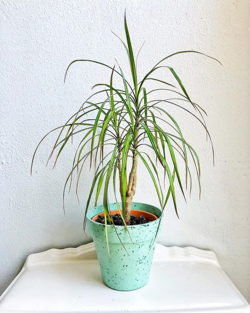 potted dragon tree (dracaena marginata)