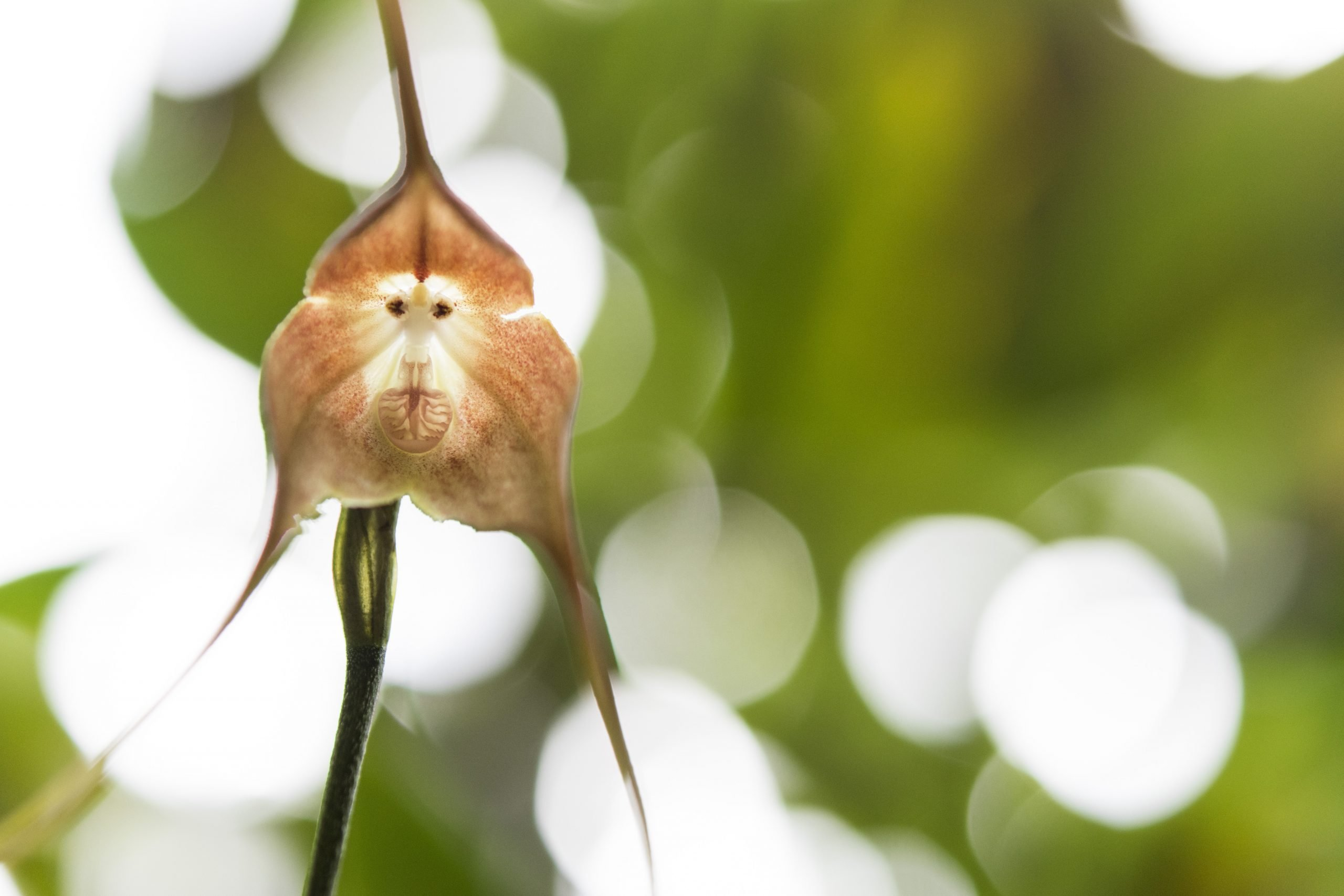 close up of a monkey face orchid plant