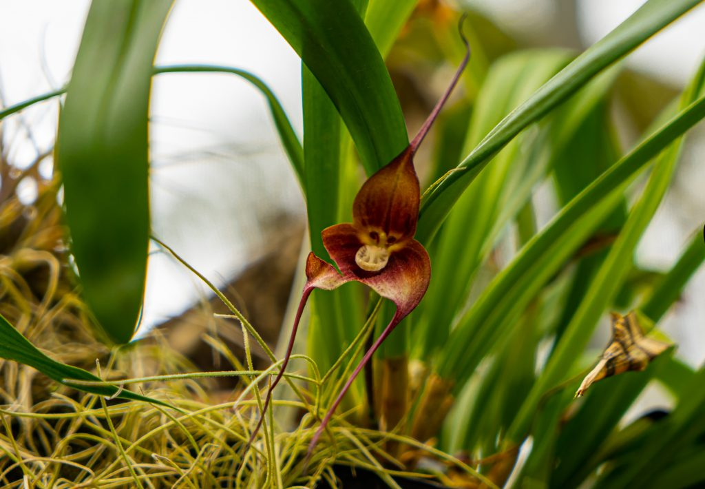 monkey face orchid, dracula simia