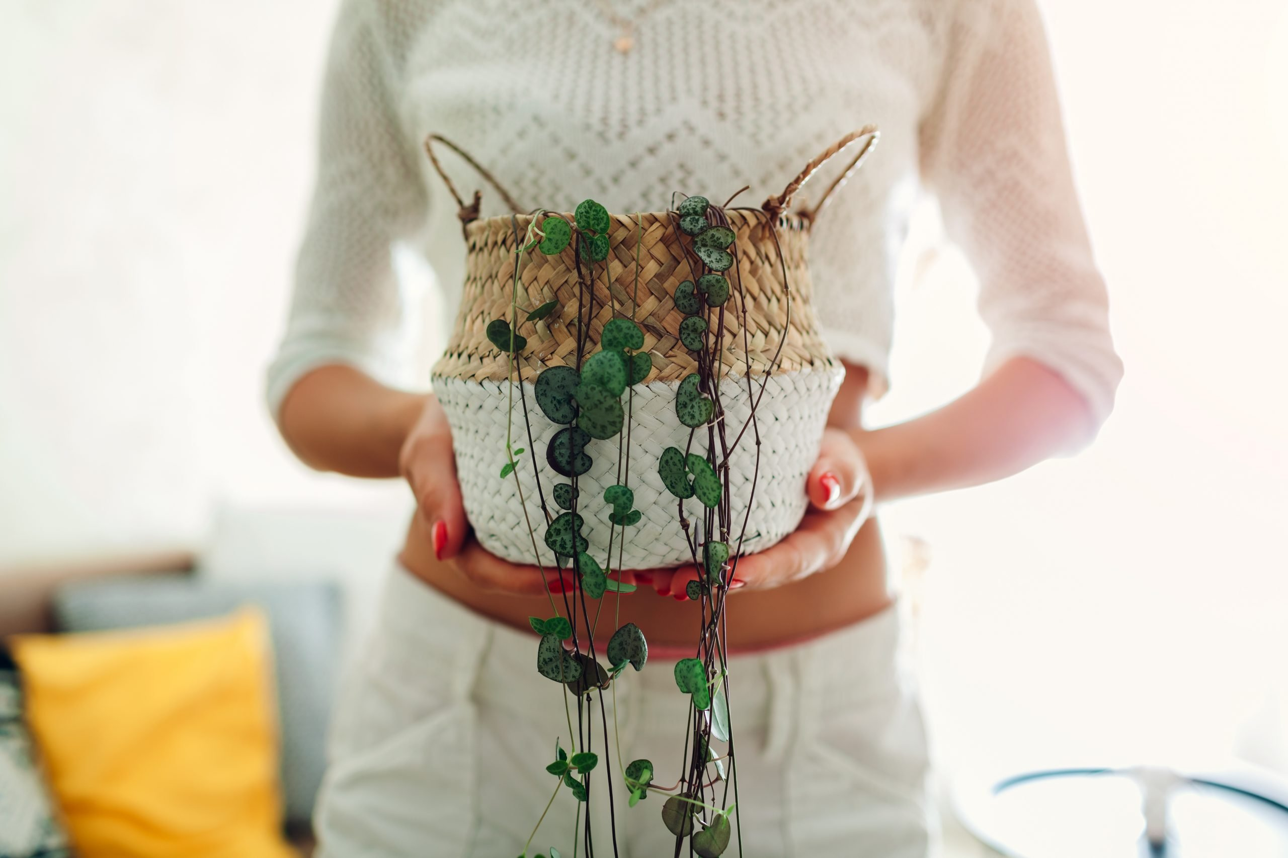 string of hearts plant in a persons hands.