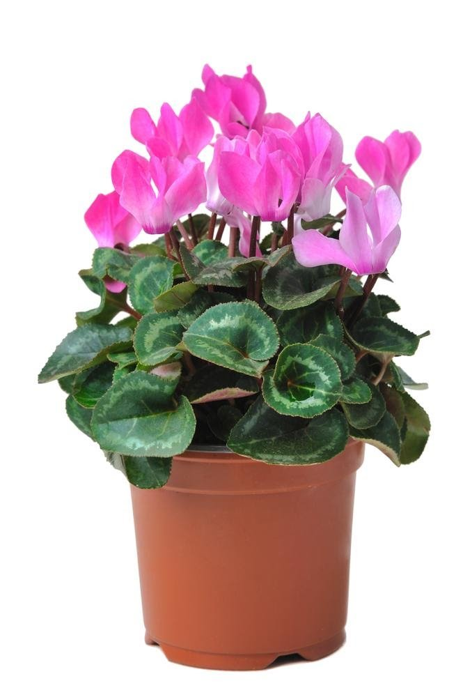 caring for a cyclamen plant