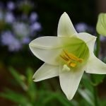 easter lily flower