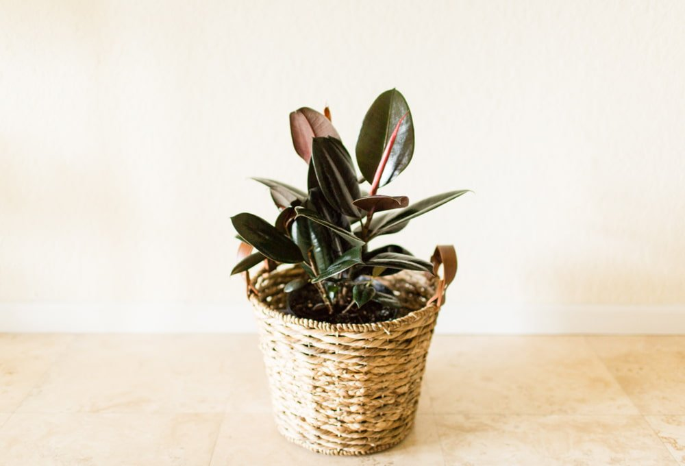 Types of Rubber Plants