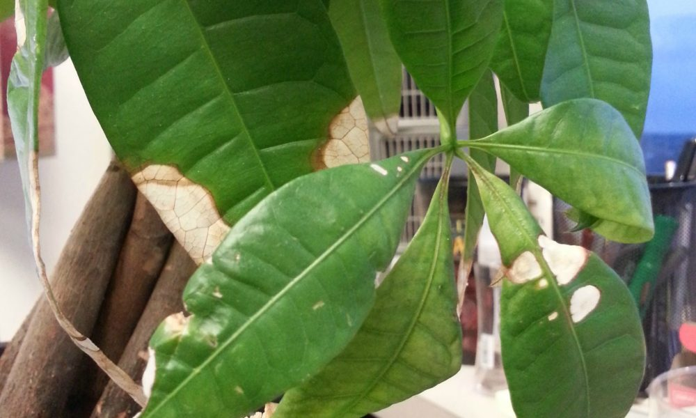 money tree with white leaves, indicating it has most likely been exposed to too much light